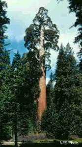 sekvojovec obrovsky