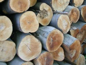 Buk lesní řez