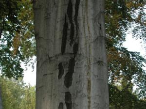 Buk lesní kmen
