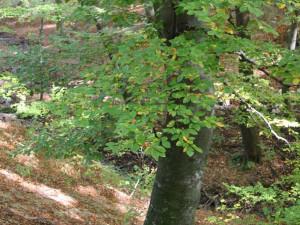 Buk lesní kmen2