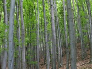 Buk lesní les