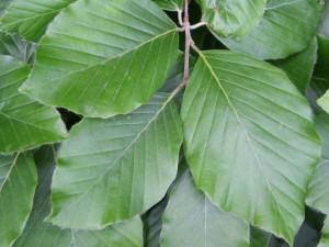 Buk lesní list