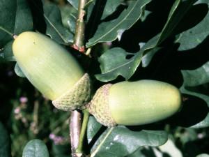 Dub letní plod