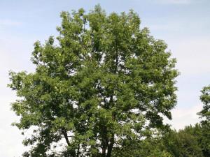 Jasan ztepilý strom