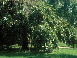 Jilm strom