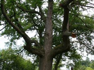 Kaštan jedlý strom