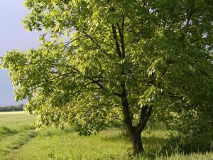 Ořešák královský strom