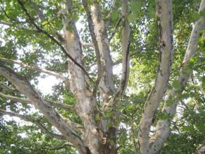 Platan javorolistý koruna
