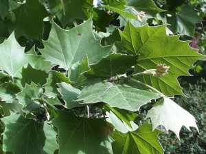 Platan javorolistý listí
