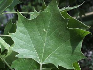 Platan javorolistý list