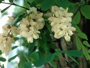 Trnovník akát květ