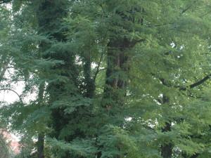 Trnovník akát strom
