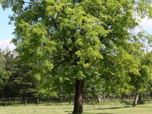 Trnovník akát strom1