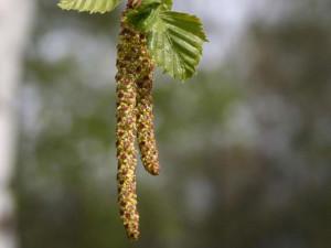 Bříza bělkorá-květ-1