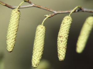 Bříza-bělokorá-květ-2