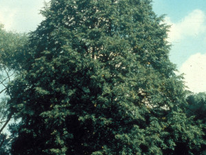Lípa srdčitá strom