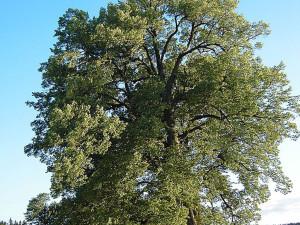 Lípa srdčitá strom2