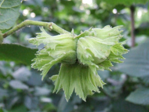 Líska obecná plod detail