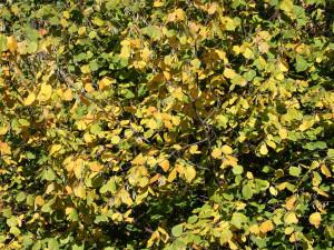Líska obecná podzim listi