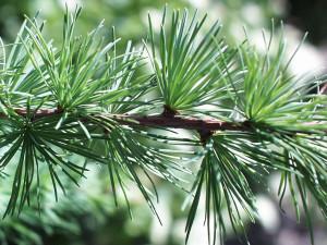 Modřín opadavý větvička