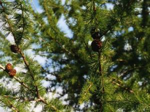 Modřín opadavý větvičky