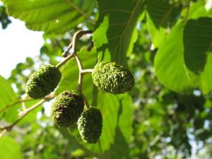 Olše lepkavá plod zelený