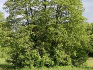 Olše lepkavá strom