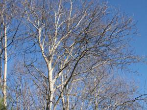 Osika obecná strom