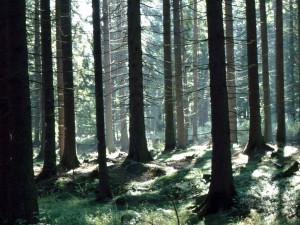 Smrk ztepilý mezi stromy
