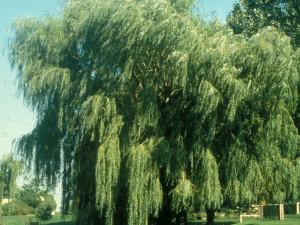 Vrba bílá strom